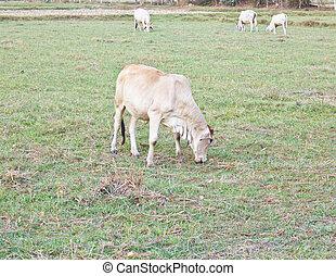 el, vaca, ganado, granja, país