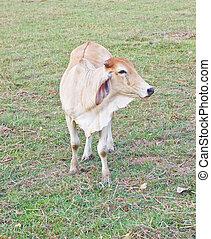 posición, campo, pasto o césped, vaca, Uno