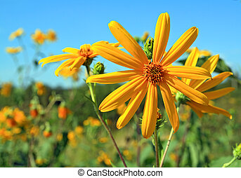 yellow field flower on celestial background