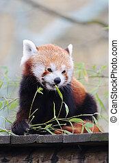 Red Panda - Red panda eating