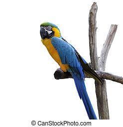 Macaw, Papagaio, isolado, ligado, branca