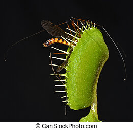 giant mosquito entrapped in jaws of carnivorous plant