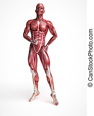 Males muscle system - 3d rendered scientific illustration of...