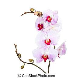 orquídea, aislado, blanco, Plano de fondo