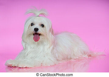 Cute white Maltese dog lies on smooth surface pink...