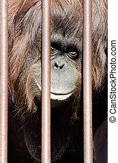Orangutan behind cage bars