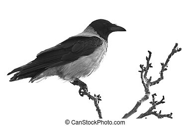 Raven on branch isolated on white