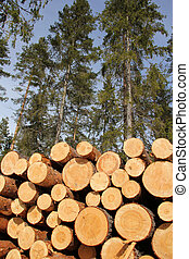 Timber logs and sunny spring forest - Stack of pine logs...