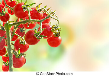 Cherry tomatoes growing in garden - Cherry tomatoes on a...