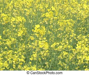 zoom blooming rape - zoom out blooming yellow rape field...