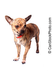 Brindle chihuahua - Cute little brindle chihuahua on a white...