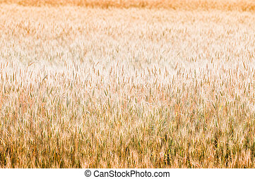 Golden wheat background - Beautiful golden wheat background,...