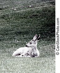 Repose - Young mule deer resting on the windsw