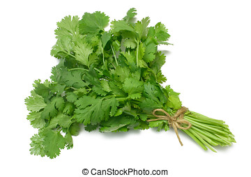 Herb Series Cilantro - Coriander or Cilantro herb tied in a...