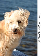 shaggy dog on wharf - white shaggy terrier dog standing on...