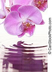 rosa, orquídea