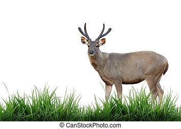 sambar deer with green grass