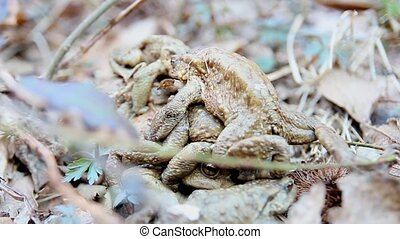 toads  in Love -  toads mating in the woods