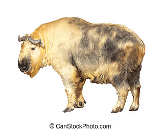 Takin Isolated over white - Takin Budorcas taxicolor...