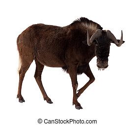 Connochaetes gnou. Isolated over white - white-tailed gnu...