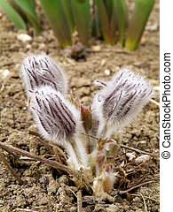 group of pasque flower