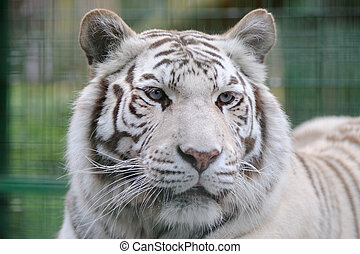 White tiger blue eyes - White tiger close-up with blue eyes