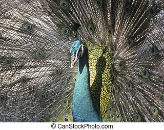 Peacock in flair - Portrait of peacock with feathers out