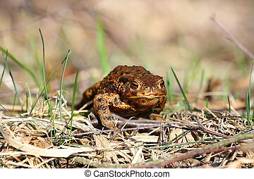 Big toad in the grass