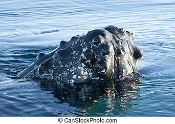 Humpback whale's head peering out of the waters of the...