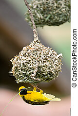 Golden weaver bird building nest - Golden weaver bird...