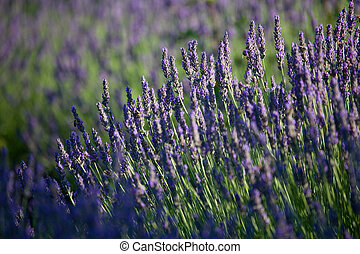 Stand of lavandar - Stand of lavander with bees collecting...