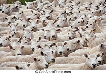 Flock of sheared sheep with central sheep looking at camera