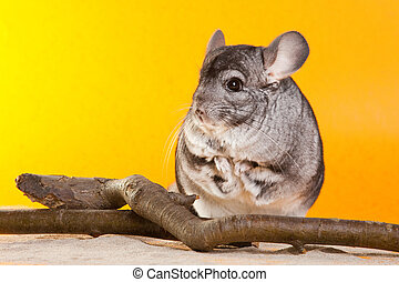 Silver Chinchilla sitting near the branch on yellow...