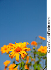 sunflower Bua Tong - Tung Bua Tong (Mexican sunflower weed...