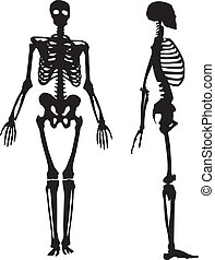 Silhouette of a human skeleton.