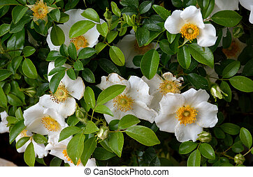 Cherokee Rose became Georgia's official state flower on...