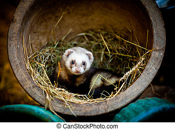 Ferret in an old flower pot - Ferret found a home in an old...