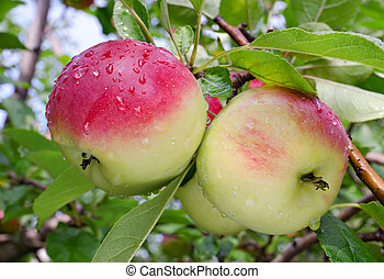 Apples grow on a branch