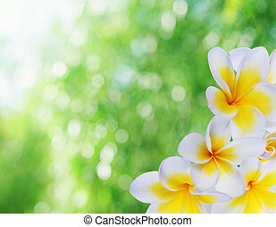 Beautiful natural bokeh and frangipani - Beautiful summer...