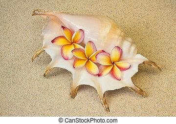 Frangipani, plumeria flowers in seashell, on sand