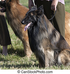 Belgian shepherd - Obedient Belgian shepherd is sitting on...