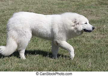 Great Pyrenees dog walking on the grass