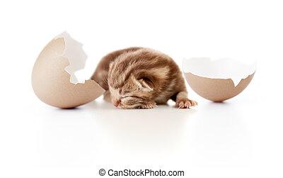 tojáshéj, brit, Macska, újszülött, csecsemő, fehér