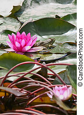 Purple water lilly and frog