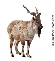 Markhor Isolated over white - Markhor Capra falsoneri...