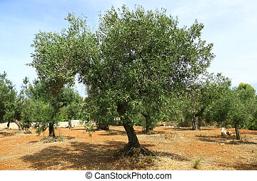 Olive tree on red soil in olive orchard