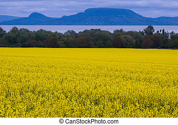 Colza at the lake of Balaton - Great yellow colza field and...