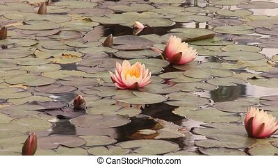 Pond with water plants lotuses, lilies and goldfish