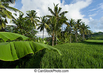 Palm fringed Paddy Field