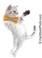 cute silver tabby Scottish cat with bow playing